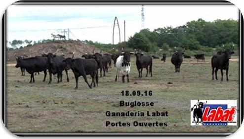 Buglosse 1